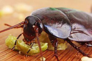 Уничтожение тараканов в кафе и ресторанах