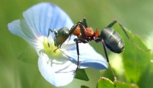 Уничтожение муравьев (на участке и территории)