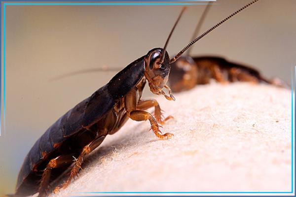 Как подготовиться к обработке от тараканов?