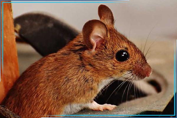 Обработка от мышей: с чего начать борьбу с мышами в доме?